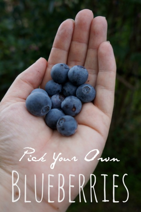 pick your own blueberries in Houston